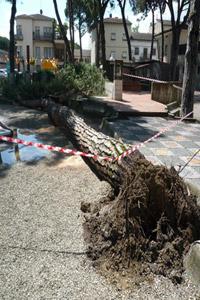 Albero caduto in Piazza della Libert�